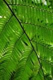 16 Tree fern on trail to Middleham Falls 3046