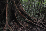 16 Buttress roots - trail to Middleham 3069