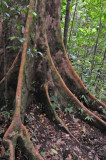 16 Buttress roots - trail to Middleham Falls 3070