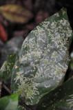 16 Leaf surface feeding 3127