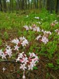Wild azaleas 4315