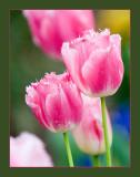 Tulipanes donostiarras