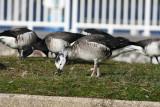 Unusual hybrid Geese.