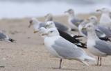 Adult Glaucous Gull