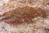 Corema conradii- (Broom Crowberry)