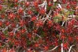 Broom Crowberry- Corema conradii