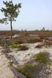Broom Crowberry- Corema conradii habitat