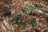 Cranefly Orchid-Tipularia discolor