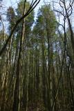 Atlantic White Cedar (Chamaecyparis thyoides) swamp.
