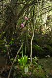 Swamp Pink (Helonias bullata)