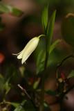 Uvularia puberula var. nitida- (Pine Barrens Bellwort)