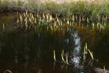Golden Club (Orontium aquaticum)
