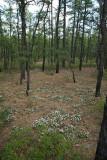 Sand Myrtle (Leiophyllum (Kalmia) buxifolium)