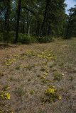 Pine Barrens Heather (Hudsonia ericoides)