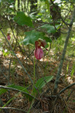 Pink Lady's Slippers (Cypripedium acaule)