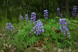 Lupinus perennis- (Wild Lupine)