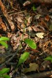 Ophioglossum vulgatum (Southern Adder's Tongue Fern)