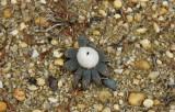 Earth Star (Geastrum saccatum)