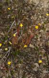 Bladderworts and Sundews