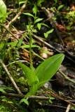 Fen Orchis or Loesel's Twayblade (Liparis loeselii)