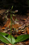 Lily-leaved Twayblade (Liparis liliifolia)