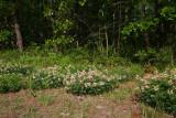 Goat's Rue (Tephrosia virginiana)