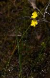 Fibrous Bladderwort (Utricularia striata)