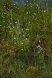 Flattened Pipewort (Eriocaulon compressum)