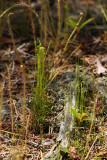 Curly Grass Fern (Schizaea pusillum)