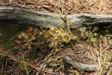 Round-leaved Sundews (Drosera rotundifolia)