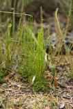 Curly Grass Ferns (Schizaea pusilla)