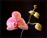 Orchid Baldan's Kaleidoscope