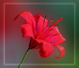 The Red Lillium