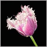 Ruffled Tulip Macro