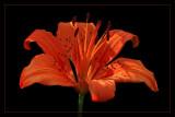 Lily On Black