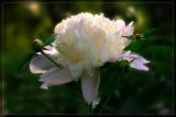 Peony from the Henry Clay Estate