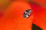 Ash-gray Ladybug