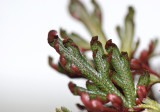 Ruby-Red Clubmoss