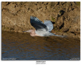 Reddish Egret in Flight Burst Sequence