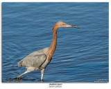 Reddish Egret Fishing