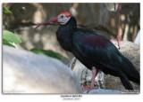 thern Bald Ibis