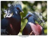 Victoria Crowned Pigeons