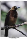Female Raggiana Bird of Paradise