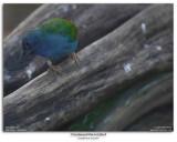 Tri-coloured Parrot-finch