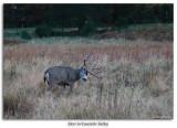 Deer in Yosemite Valley Meadow