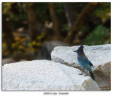 Steller's Jay at base of Bridalveil Falls