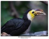 Male Sulawesi Tarictic Hornbill