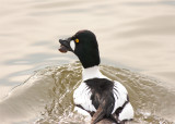 Goldeneye male