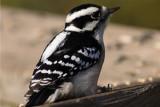 Hairy Woodpecker.