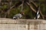 red bellied woodpecker.
